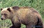 Медведь во сне толкование сонник
