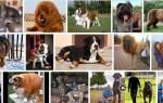 К чему снится большая собака сонник