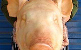 Видеть во сне свиную голову сонник