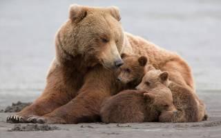 К чему снится медведица с медвежатами женщине сонник