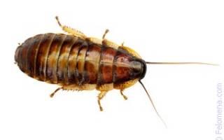К чему снится таракан большой рыжий сонник