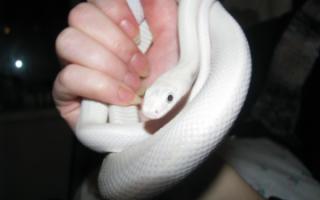 Видеть во сне белую змею что означает сонник