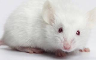 К чему снится белая мышка маленькая сонник