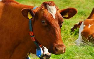 Сонник ванги корова