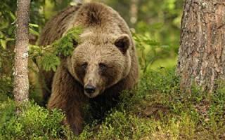 К чему снится большой медведь сонник