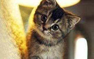 К чему снится котенок во сне женщине сонник