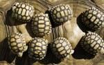 К чему снится черепаха маленькая сонник