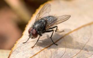 К чему снятся мухи сонник