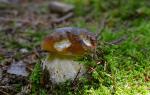 Видеть во сне грибы белые женщине сонник
