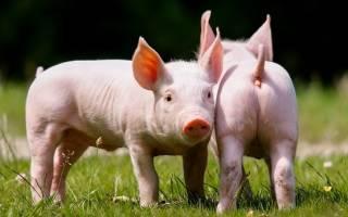 К чему снится свинья с маленькими поросятами сонник