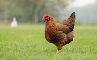 К чему снится курица сонник