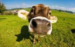 Видеть во сне корову сонник