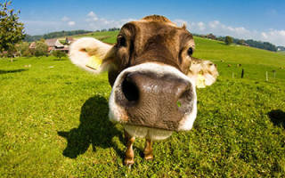 К чему снится корова сонник