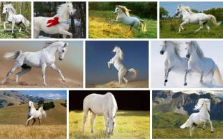 К чему снится белый конь женщине сонник