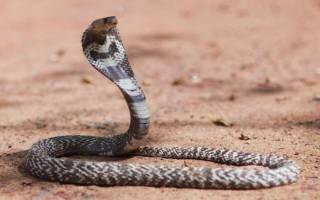 К чему снится кобра сонник