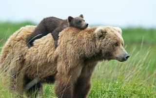 К чему снится медвежонок девушке сонник