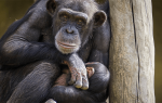 Видеть во сне обезьяну сонник