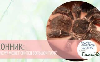 Сонник миллера паук большой