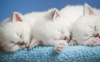 Сонник толкование снов к чему снится котенок