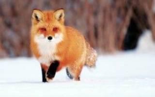 До чого сниться лисиця сонник
