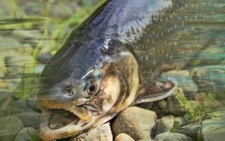 К чему снится огромная рыба сонник