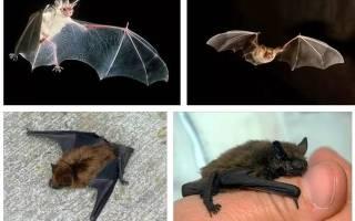 К чему снится летучая мышь во сне сонник