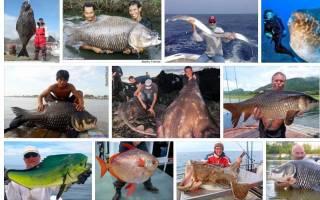 Сонник рыба большая