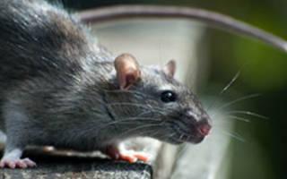 К чему снится крыса убегает сонник