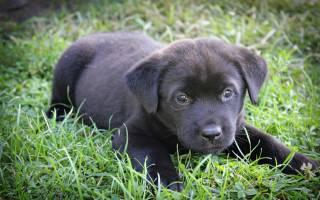 Маленькая черная собака к чему снится сонник