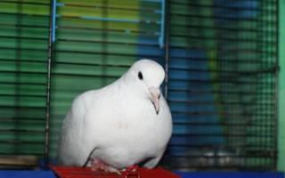 К чему снится голубь залетевший в дом сонник