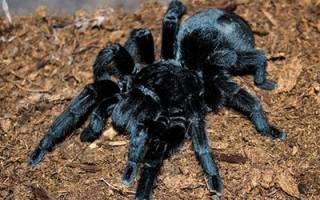 Видеть во сне паука большого черного сонник