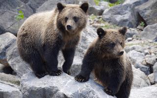 К чему снится маленький медведь сонник