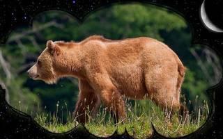 К чему снится медведь женщине незамужней сонник
