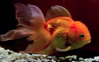 К чему снится золотая рыба сонник