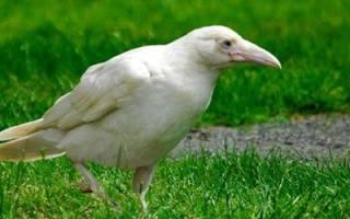Белая ворона сонник