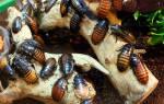 К чему снится большой таракан женщине сонник