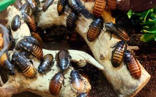 К чему снятся маленькие тараканы сонник