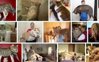 К чему снится большой кот женщине сонник
