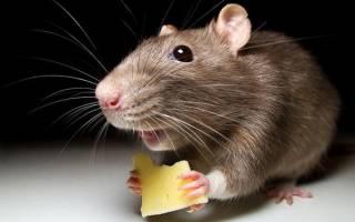 К чему снятся мыши маленькие серые сонник