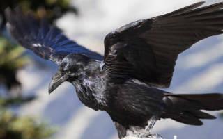 К чему снится черная птица сонник
