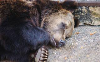 К чему снится убить медведя женщине сонник