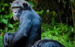 К чему снится обезьянка маленькая во сне сонник