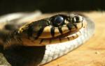 Сон укус змеи в руку сонник