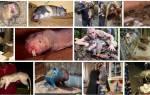 Большая крыса во сне сонник