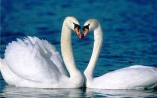 Белый лебедь во сне сонник