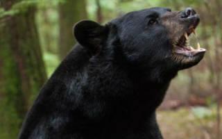Видеть во сне черного медведя сонник
