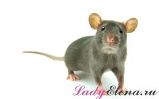 Видеть во сне крысу что означает сонник
