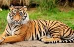 Видеть во сне белого тигра сонник