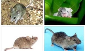 К чему снится серая мышь сонник