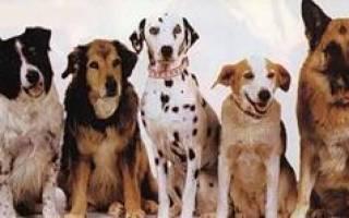 Сонник видеть много собак